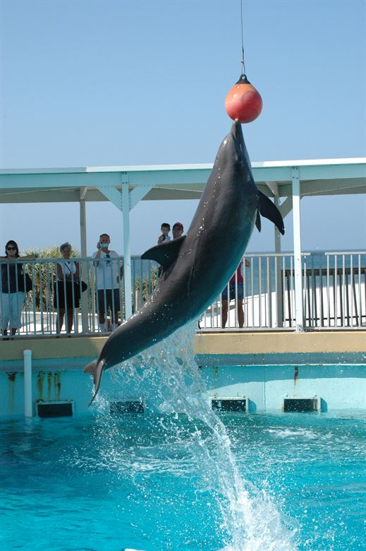 Fort Walton Beach Dolphin Jumping into the Air